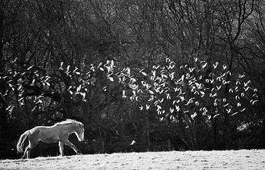 Rosebud Alpacas, Horse, Mustang, Devon