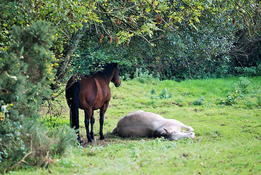 Rosebud Alpacas, Horses sleeping, Mustang, Quarter Horse