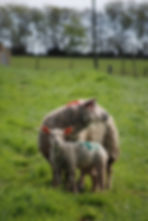 Pedigree Charollais Sheep, Lamb, Devon, Rosebud Alpacas