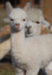 Rosebud Alpacas, Devon, Baby Alpaca, Cria