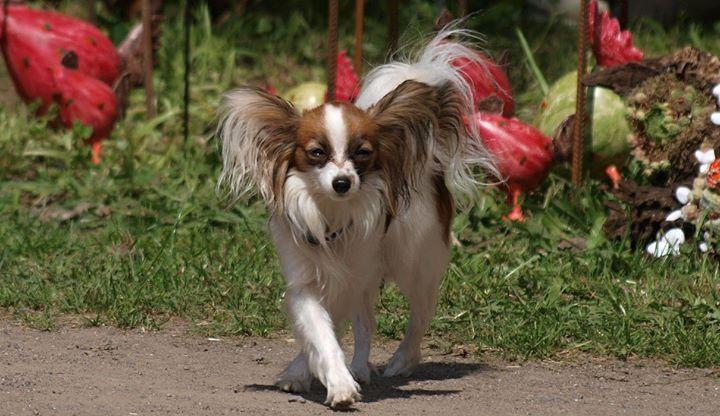 Papillon, Hundetraining