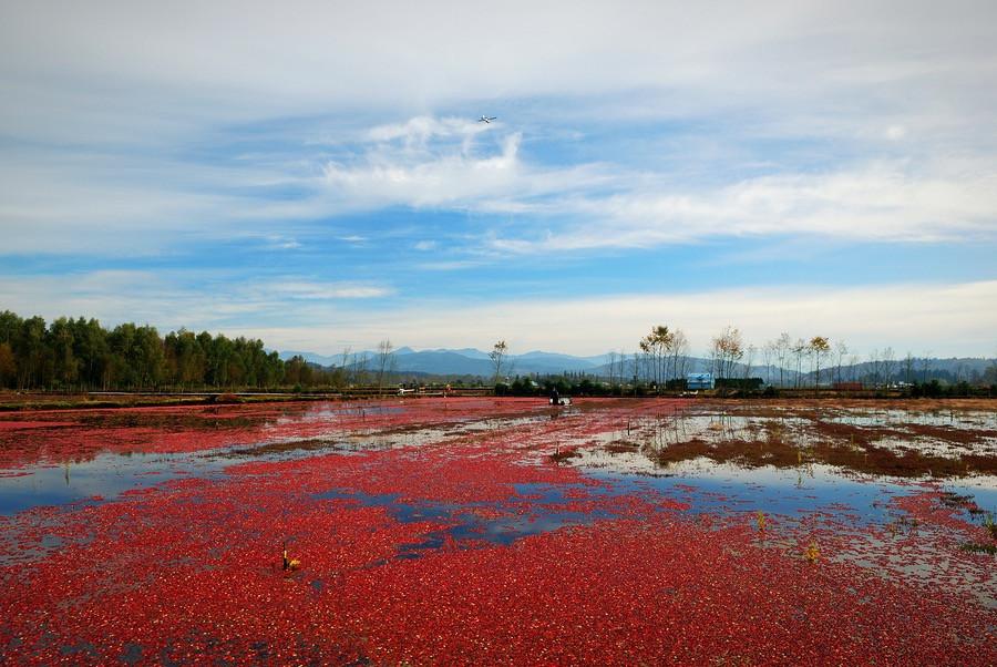 A gorgeous cranberry bog in Massachusetts