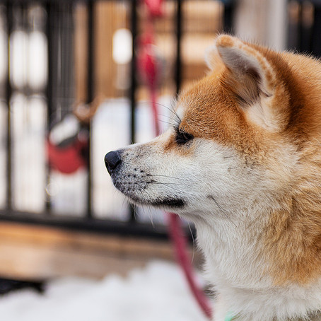The Lovely Akita Dog