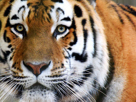 "Cybersecurity Lessons Learned from a ""Tiger King"""