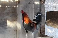 Rooster used for cockfighting