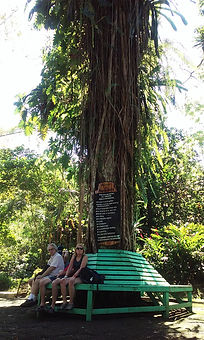Giant Tree with bench circling it
