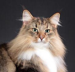 gato Noruegues da Floresta filhote venda