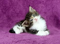 Filhotes de gatos noruegues da floresta disponíveis do MiAdore