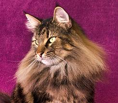 Gata fêmea Norueguês da Floresta gato filhote