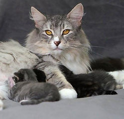 Cruzas futuras de filhotes de gatos do MiAdore