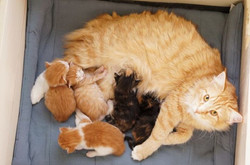 CH S_NC's Funny Funny with her 5 kittens _3 _3
