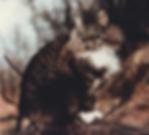 Sobre a raca de gato Norueguês da Floresta
