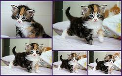 Ninhadas de gatos noruegueses da floresta que nasceram no MiAdore