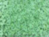 SquashSeedlingsTrussoni1805.jpg