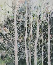 Birch trees, Hout Bay