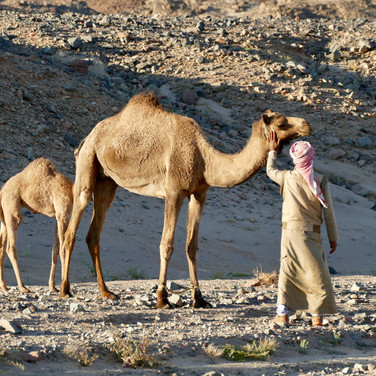 Camels wander every part of the RSMT, with their owners letting them graze freely. Here's a camel & her calf, just a few days old. The best place to touch a a camel is on her neck, never her face or head. Look carefully where Mohammed is putting his hand & you'll see an 'H' shaped mark in her hair.