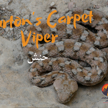 We haven't seen any dangerous animals so far but here's one. The 'Burton's Carpet Viper' or 'hanash' as the Bedouin call it is one of the most aggressive & dangerous snakes with a powerful hemotoxic venom causing internal bleeds. It has a large, triangular head & thick, stocky body. Blocky patterns cover its back & the colour usually matches the surrounding landscape. These snakes are most active in hot summer months. Care is needed when moving around the bottom of trees & bushes, where they often hide for prey. Sometimes they hide in cracks of tree trunks. Survivors of viper attacks are often impaired for life, with bitten limbs becoming unusable. The Bedouin have a special kind of healer called a 'haawi' who helps save the lives of those attacked by poisonous animals, through a number of rituals. Snakes & several poisonous kinds of scorpion live around the RSMT but sightings are rare & common sense helps keep you safe.