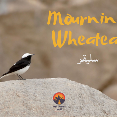 One of the most commonly-seen birds on the RSMT is this small black & white wheatear. Known to English speakers as a 'Mourning Wheatear' & a 'slaygu' to the Bedouin, this bird often flutters close to Bedouin camps & groups of resting hikers. The Bedouin have a special affection for the wheatear, saying it flutters above hidden snakes & calls loudly to warn of their presence. Over many centuries living close to the land the Bedouin have watched the behaviour of animals carefully, drawing lessons from them which are integrated into their own survival strategies.