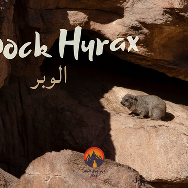 Jebel Gattar's rugged wilderness is a haven for desert animals. One beautiful animal hikers might see is the 'rock hyrax', known to the Bedouin as a 'wabbar'. About the size of a large rabbit the hyrax is one of the closest living relatives to the elephant. Hyrax live in colonies, each of which has its own guard to warn of danger. Hyrax are vocal communicators & use syntax in their song. Different colonies have their own dialect. In days of old the Bedouin played a stringed instrument called a 'rababa' to draw hyrax from their dens. Today a radio or smartphone works & a hyrax favourite is modern Egyptian 'shaabi' music. A taboo has long existed around eating hyrax in the Bedouin of the Maaza, an account of its perceived anthropomorphic qualities.