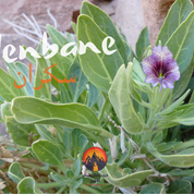 The Bedouin experimented & re-experimented with plants over many thousands of years, getting to know the desert flora exceptionally well. We've seen plants that can be eaten & used as medicine so far. This one is different: a potent intoxicant with hallucinogenic properties, known to the Bedouin as 'sakraan'. 'Sakraan' means 'drunk' in Arabic, after the effects it has on anybody who smokes a mix of its purple flowers or drinks an infusion of its petals. Sakraan is said to give haunting, nightmarish hallucinations & the Bedouin say its use can induce self harming behaviour & impair people for life. The Bedouin do not use it but in previous centuries a demand existed for it in the towns of the Nile Valley.