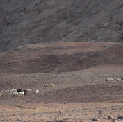 A Bedouin woman shepherds her goats & sheep over the lowlands. Everybody in a Bedouin family has their own role & whilst it is job of men to look after the camels & fetch them from faraway places goats & sheep are the responsibility of women & children. Bedouin shepherdesses leave their tents early in the morning & spend hours in the mountains, driving their flocks over the pasture. Bedouin women know the desert as well as Bedouin men & often know some parts even better, getting to know them in great detail through frequent visits with their animals.