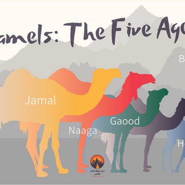 The Bedouin have several different words for camels, which it's good to know. Camels begin their life as a 'hewar' or a new born calf. When camels grow bigger & until they reach about the age of 4 males are known as a 'gaood' & females a 'bakra'. When camels are fully grown the males are known as a 'jamal' & the females a 'naagah'.