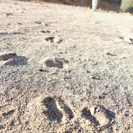 Ibex tracks in the sand. An ibex is a mountain goat with curved horns but sightings are always rare. Each of its hooves has two halves, as the tracks show. Hooves are wider at the back than front. Anything that moves whether a person, animal, a blowing branch or a rolling stone makes its mark on the desert & tracking is a key survival skill for Bedouin: it helps them read the land & see what happened, when & why. It helps with everything from finding water & food to identifying danger & following lost people & camels. Most Bedouin know the footprints of their friends & family, along with the footprints of their camels & the tracks of eachother's cars.