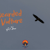 Birds of prey circle high over the plain. This is a rare bird called the Bearded Vulture or 'silaawi' in the Bedouin dialect. It is one of the biggest birds in the mountains & it lives mostly on a diet of bones, carrying its prey high in the sky & dropping it to the ground until its bones become exposed to eat.