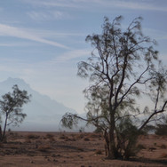 Moringa trees catch the morning breeze on the plains. The Bedouin call these trees 'yasar' & use them in different ways. Seeds of the tree are gathered & crushed, giving a natural cooking oil. A red, water-resistant dye is taken from the tree's bark. Small branches are used to make tobacco pipes.