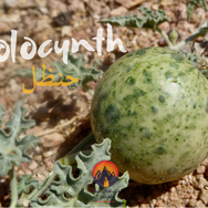 One of the few plants on the Plain of Graygar is a small, tangerine-sized fruit, which grows in clusters on the ground, called a 'colocynth'. The Bedouin call it 'handal' & use it mostly for medicinal purposes. Sometimes a small piece of its flesh is swallowed as a natural laxative that begins to work within minutes. Its flesh is also heated & pounded into a pulp that is wrapped in cloth to be applied to painful joints or bones, as a treatment for rheumatism.