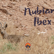 One of the biggest, most beautiful & rarely seen animals in the Red Sea Mountains: the 'Nubian Ibex' or 'Bedan' as the Bedouin call it. The ibex is a wild mountain goat able to leap & bound over precipitous cliffs with a great agility, speed & control. Other kinds of ibex are found in Europe & Asia but Nubian Ibex are the only ones adapted to hot, arid deserts. This is a female, grazing at the end of spring. Males have bigger horns & bodies. Seeing an ibex this close doesn't happen much. Ibex are highly sensitive to the presence of humans & usually spot people long before people see them, escaping silently into the hills. Finding ibex relies on identifying tracks, droppings, nibbled plants & other signs, making very little noise & walking downwind of wherever they are.