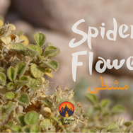Also useful is this small shrub called 'mishta' by the Bedouin & known commonly in English as 'Spider Flower'. A plant with small, sticky leaves & a strong, menthol scent, it is usually found growing in lowland wadis & plains. Sometimes the Bedouin make an infusion of its leaves, using it as an antiseptic solution for cleansing cuts, grazes & rashes & also as a mouthwash. Sometimes it's also used to soothe coughs. The Bedouin say camels rub their faces in this plant when irritated by ticks: 'misht' is a 'comb' in Arabic & camels might use it as a way of 'combing' out troublesome ticks.