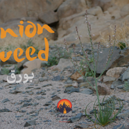 Onion weed or 'bawrag' as the Bedouin call it is a small plant growing around Jebel Abu Dukhaan. It blooms in early spring & has small white flowers. The shoots around the bottom can be eaten. It has a spring onion flavour & is sometimes used for salads & as a flavouring when cooking.