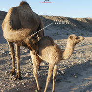 It's a branding mark every camel in the desert has & it's called a 'wasm'. The rope hobbling the camel's feet stops her wandering too far & is called a 'rasan'.