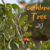 A bush known to English speakers as the Toothbrush Tree grows around the bottom of Jebel Gattar. The Bedouin know this as 'araak' & it's one of the most useful plants in the mountains. The fruits of the tree are sometimes eaten & an infusion of the leaves made to treat urinary tract infections. Nevertheless the best-known use is for cleaning teeth & gums. The Bedouin & people all over the Middle East use sticks of 'araak' for this purpose & call them 'miswak'.