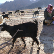 Mohammed sits on the plains, as inquisitive goats flock around. Bedouin families around the RSMT belong to a tribe called the Maaza. Some say the name 'Maaza' is a derivative of the Arabic word 'Maeez' for goats & can be understood as 'The Goat People' but the Maaza say the word reflects an ancestor called Muaz Ibn Al Jabal. Every Bedouin tribe is divided into different clans, each of which is divided into different families. Different clans are found in the Maaza & the clan in these parts of the mountains is called the 'Khushmaan'.