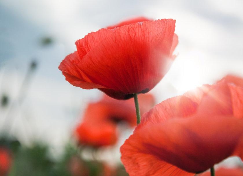 poppy-2764980_1920.jpg