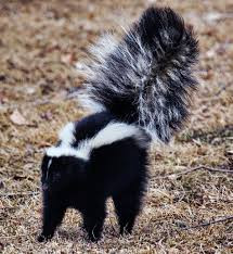 FIGHTING SKUNKS!