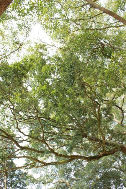 川棚のクスの森