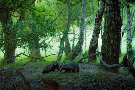 Badgers in the forest
