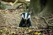 badger emerging to enjoy a day in the fo