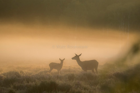 Mother and Fawn at dawn