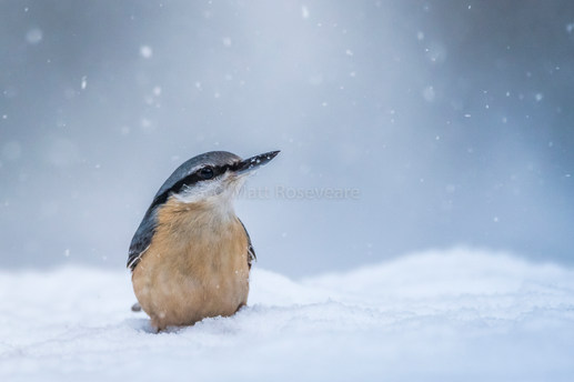 Nuthatch in falling snow
