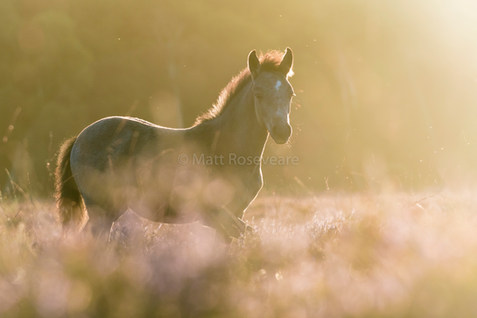 foal at first light