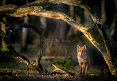 Red Fox at first light