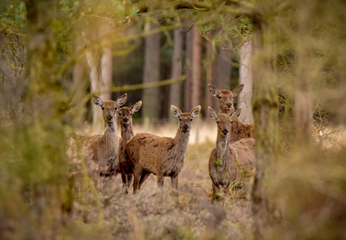 Red Deer Hinds in the New Forest