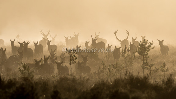 Red deer on the move