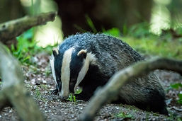 Picture of a Badger Located in te New Forest national park just minutes walk from the Bed and Breakfast