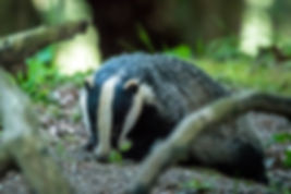 Badgers have been spotted integarden of the thatchd cottage bed and breakfast.