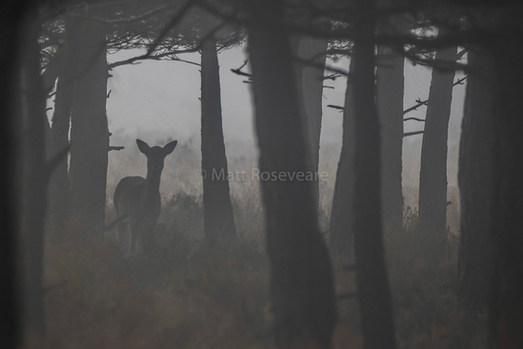 Fallow deer in the mist